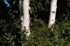 birch_trunks_orange_berries_400_115ecb