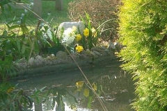 daffodil-reflection_105723