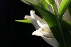 lilies_1_400_11b620