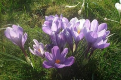 purple_crocuses_10e8aa