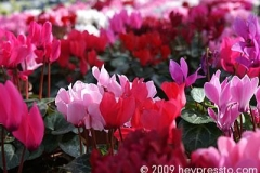 red_flowers_1b2388