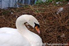 swan_1de1be